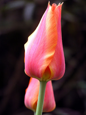 Tulipa Temple's Favourite...Tall, large-cupped, late. Elegant.