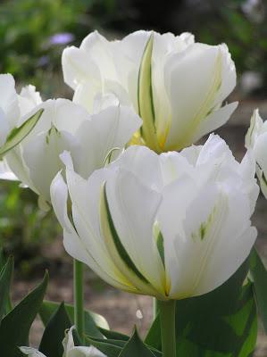 Exotic Emperor, a double viridiflora tulip.
